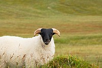 Single blackhead sheep