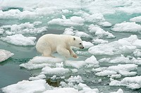 Polar bear cub Ursus maritimus jumping on the ice floe, Svalbard Archipelago, Barents Sea, Norway