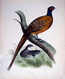 Pheasant, Hand_Colored Engraving, Early 19th Century