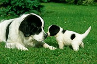 Landseer Dog, Female with Cub Laying on Grass