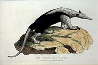 Ursine Anteater, Hand_Colored Engraving, 1824