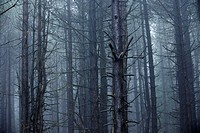 Mature conifer woodland shrouded in wet misty conditions