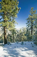 Snowy landscape after winter storm in Pine Mountain Club, Kern County, Southern California