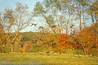 Autumn flight of Canadian Geese along scenic Route 169, Connecticut