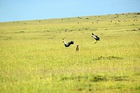Crowned cranes flying over Cheetah at Masai Mara near Little Governors camp in Kenya, Africa