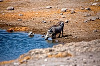 a warthog drinking water in etosha national park namibia