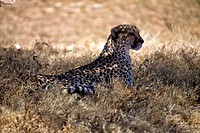 cheetah in the grass at etosha national park namibia
