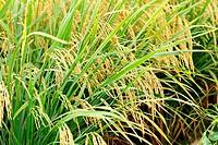 ripe paddy rice