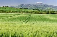 Italy, Tuscany, Montalcino, field of wheat