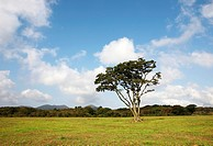 Single tree on a field, Jeju_island, South Korea