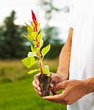 Man holding a fresh red plume seedling.