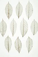 Dried leaves of ficus tree ficus elastica showing veins