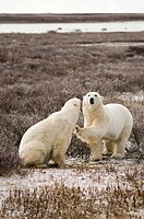 Polar Bears, Cape Churchill, Canada