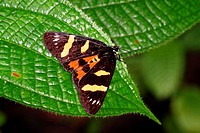 Forage Looper Moth, borneo