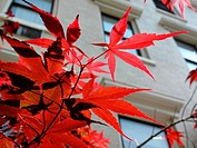 Shiny red Ivy leaves in the city in autumn