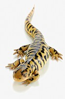 Tiger salamander on white background, alberta, canada