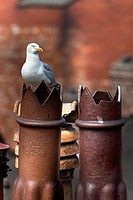 Herring gull Larus argentatus on chimney pots in city, Newcastle, England, United Kingdom, Europe