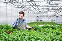 Germany, Bavaria, Munich, Mature man examining parsley plants in greenhouse (thumbnail)