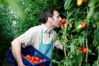 Germany, Bavaria, Munich, Mature man harvesting tomatoes in greenhouse