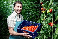 Germany, Bavaria, Munich, Mature man harvesting tomatoes in greenhouse (thumbnail)