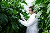 Germany, Bavaria, Munich, Scientist in greenhouse examining aubergine plants