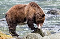USA, Alaska, Brown bear caught salmon at Chilkoot Lake