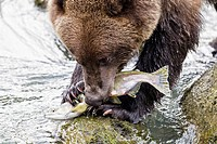 USA, Alaska, Brown bear eating salmon at Chilkoot Lake (thumbnail)