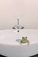 frog on the washbowl