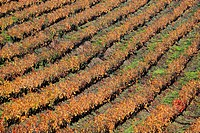 Vineyards, Alpes-Maritimes, 06, PACA, France.