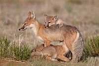 Swift fox Vulpes velox vixen nursing three kits, Pawnee National Grassland, Colorado, United States of America, North America