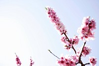 Peach blossoms,close up