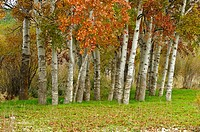 Aspens (Populus tremuloides), Cabriel River Valley, El Vallecillo, Teruel