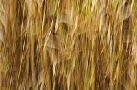 Reed (Arundo donax), Cantera de Sugel, Almansa, Albacete.