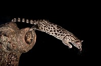 Genet, Genetta sp, leaping, Avila, Spain, Europe