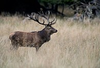 Red deer Cervus elaphus, stag, Denmark, Europe