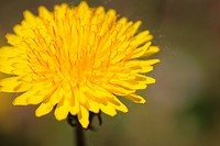 coltsfoot bloom on green background _ Tussilago farfara in mac