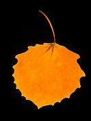 Close_up of a fall leaf