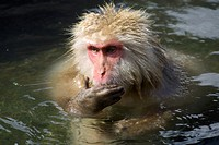 a Japanese macaque bathing in an hotspring in Jigokudani yaen-koen  nagano prefecture  chubu region  japan