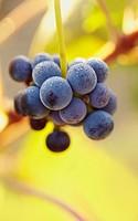 Tempranillo grapes closeup  Rioja alavesa wine route  Alava  Basque country  Spain