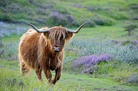 Scottish Highland Cattle, nature reserve De Bollekamer, Island of Texel, Netherlands