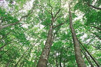 Forest of beech Fagus crenata in Mennoki Enchi
