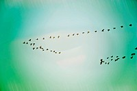 A flock of geese in flight, migrating
