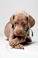 Weimaraner Puppy