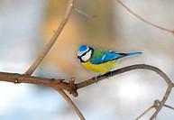Blue tit Cyanistes caeruleus Paridae