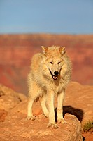Gray Wolf, Timber Wolf, Canis lupus, Monument Valley, Utah, USA, North America, adult alert