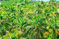 aerial view palm tree jungle in Caribbean