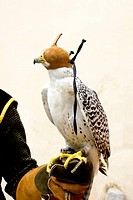 falconry falcon rapacious bird in glove hand