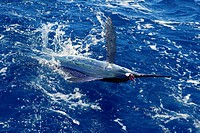 Atlantic white marlin big game sport fishing
