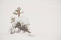 The pine tree under snow in the winter