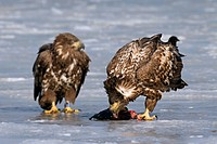 White_tailed sea eagle Haliaeetus albicilla juvenile eating dead fish on ice of frozen lake in winter